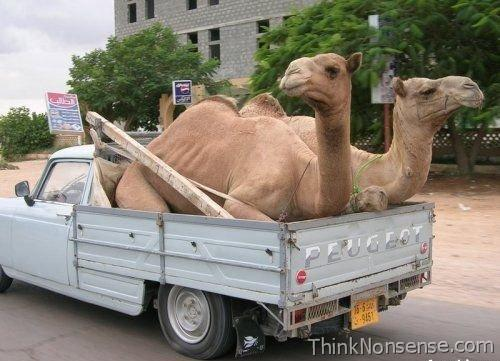 Talking Picture Camel Car
