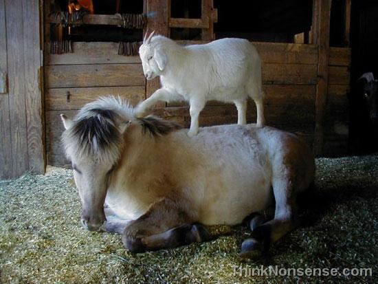 Goat helping Horse