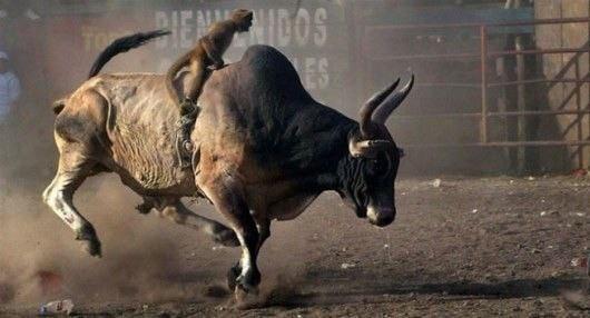 bullrider monkey